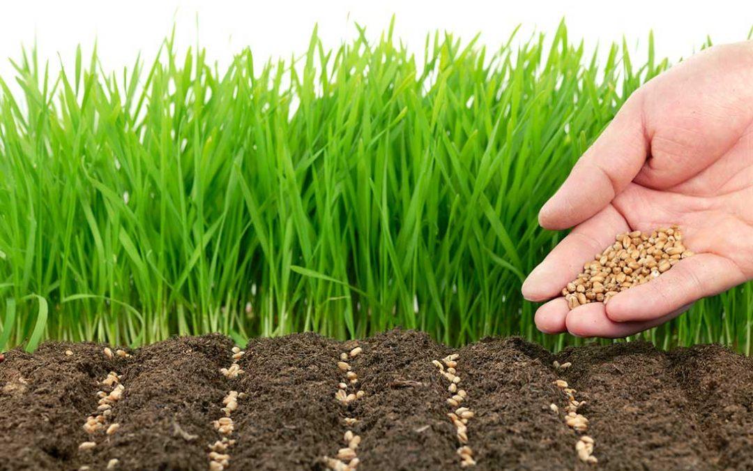 sementi tappeto erboso