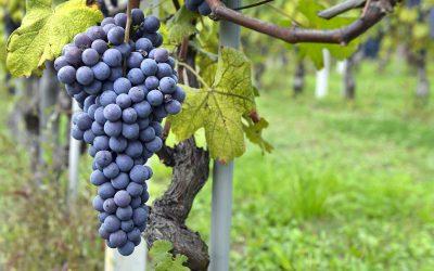 Piante di uva