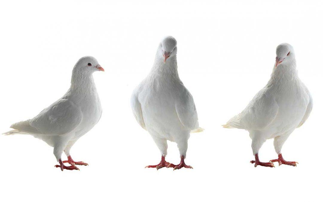 linea professionali Bedogni per piccioni migratori